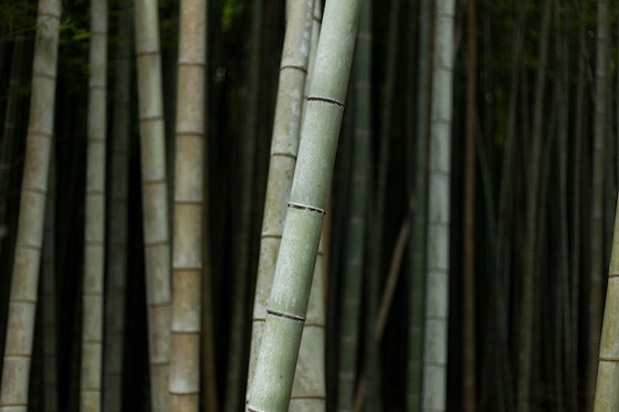 Cool, shaded bamboo forest